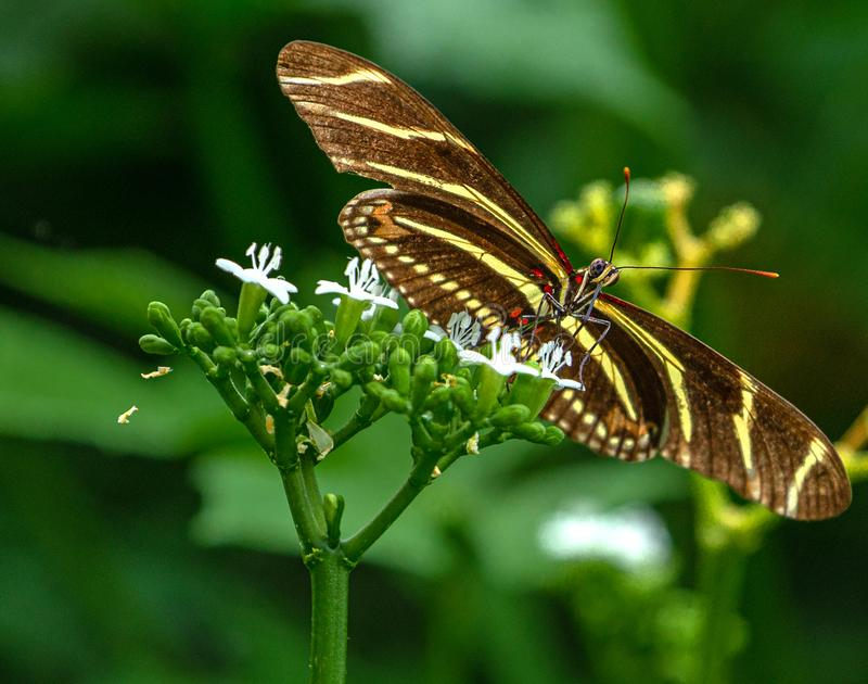 Zebra Longwing Butterfly on White Flower stock photography
