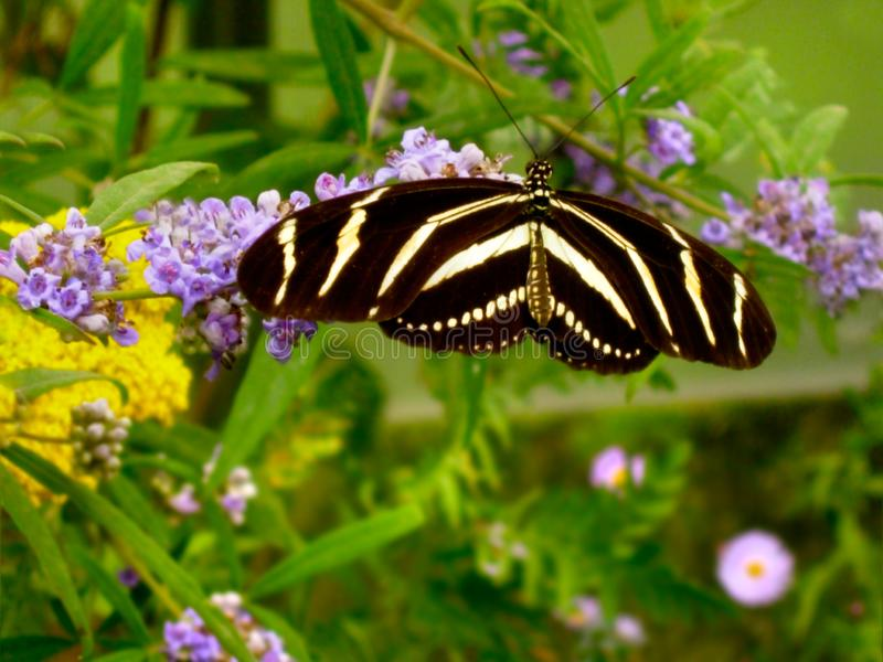 Zebra Longwing Black White Striped Heliconian Butterfly stock image