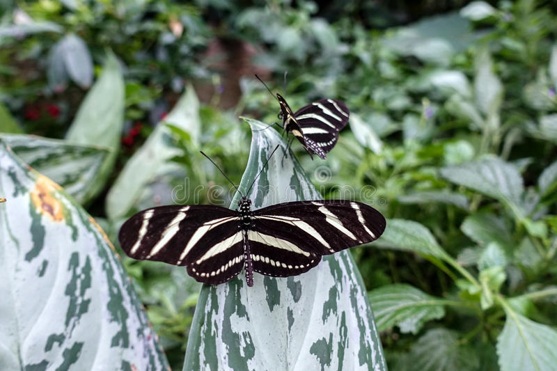 Zebra Longwing, Heliconius charitonia - butterfly,close up royalty free stock photography
