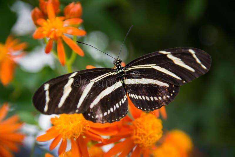 Zebra Longwing On Orange Flower stock images
