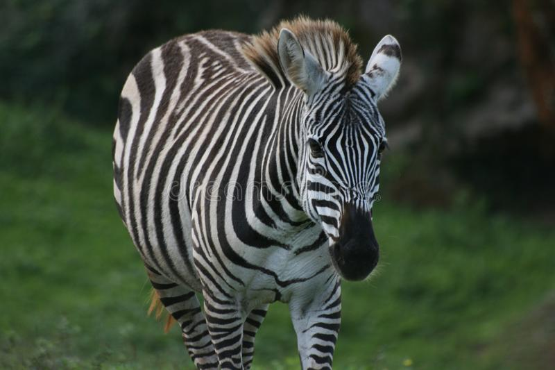Zebra lookin zur Kamera stockfotografie