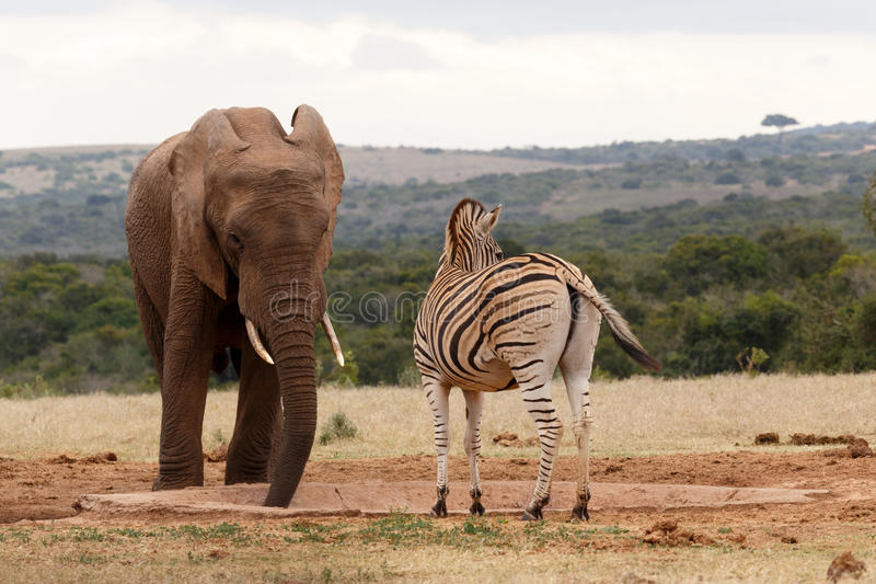 Zebra looking away while the Elephant is drinking water royalty free stock photography