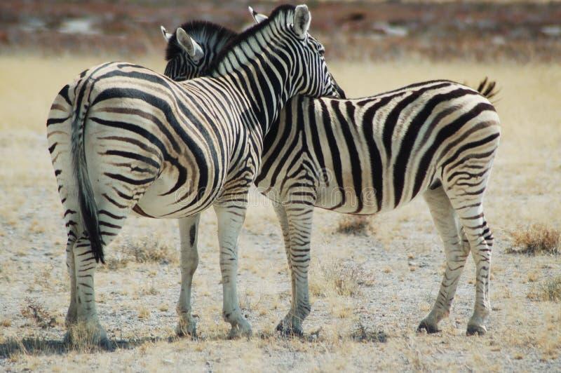 Zebra lovers #1 royalty free stock image
