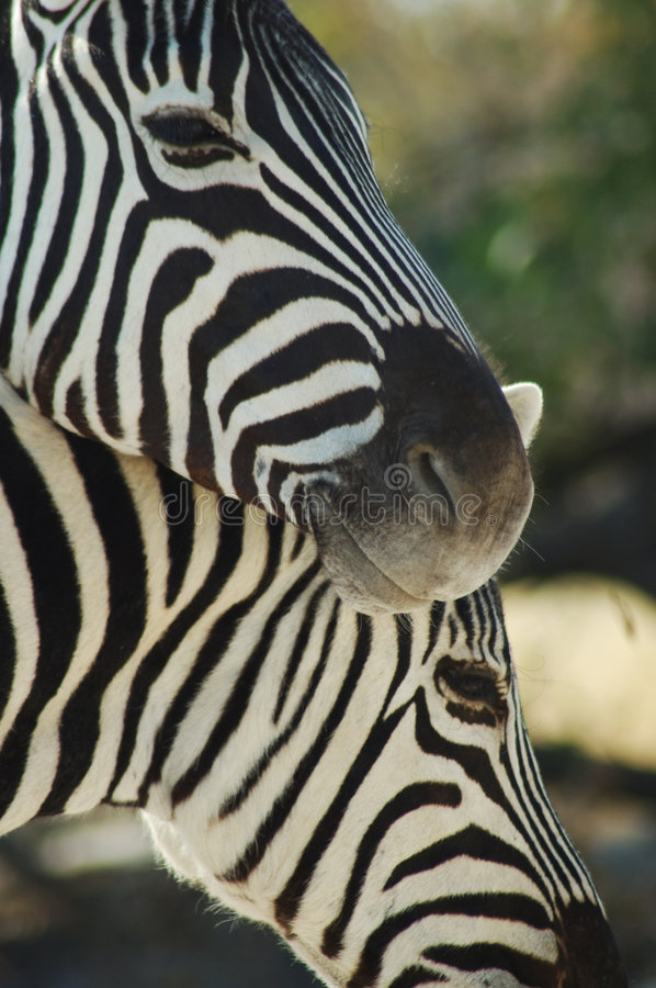 Free Zebra Lovers 3 Royalty Free Stock Images - 238189