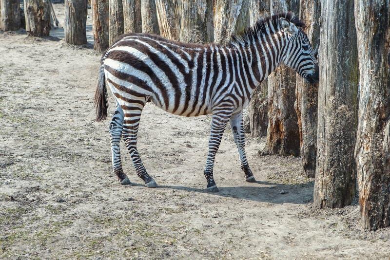 Zebra zdjęcia stock