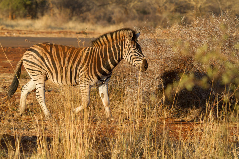 Zebra, Madikwe Game Reserve royalty free stock photos