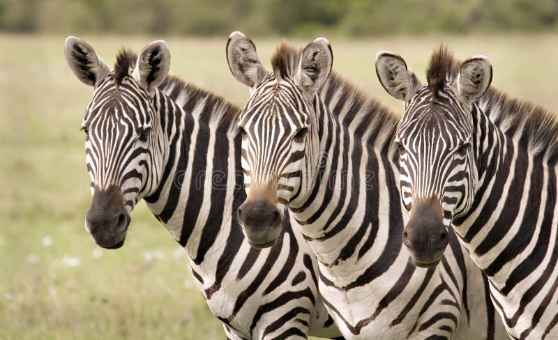 Zebra in Mara royalty-vrije stock fotografie