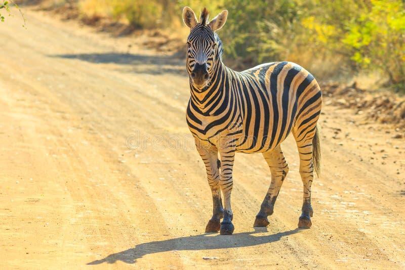 Zebra Marakele NP obrazy royalty free