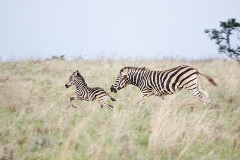 Zebra mare and foal fleeing danger. A zebra mare and her foal fleeing from danger across the savanna stock photos