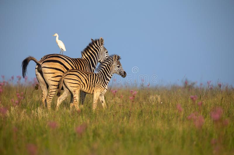 Zebra mare and foal walking away over a ridge with an egret. On her back stock photo
