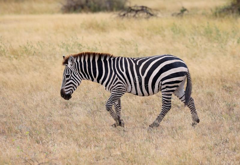 A zebra in masai mara. A zebra in the masai mara game park royalty free stock photo