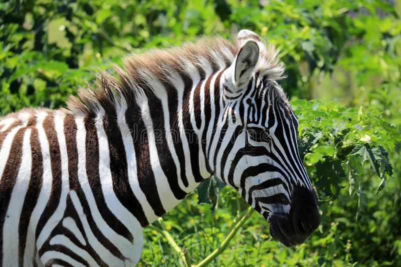 A zebra in masai mara. A zebra in the masai mara game park royalty free stock images