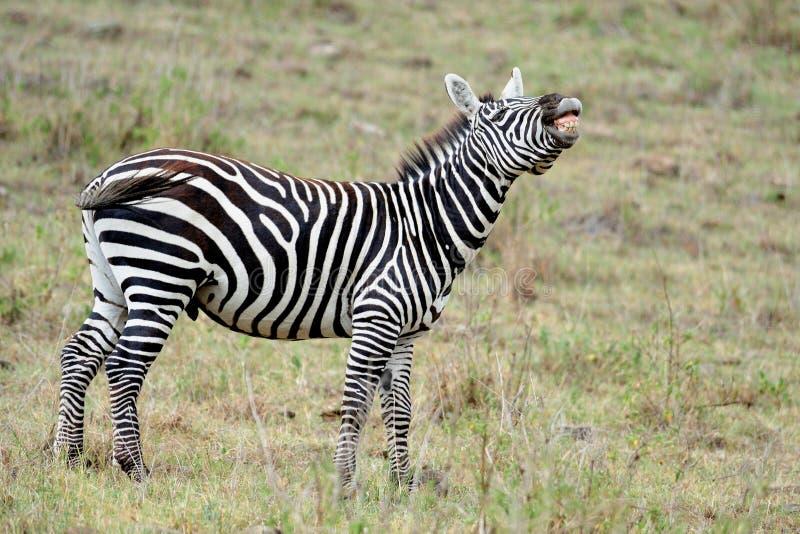 Zebra am Masai Mara, KENIA stockfoto