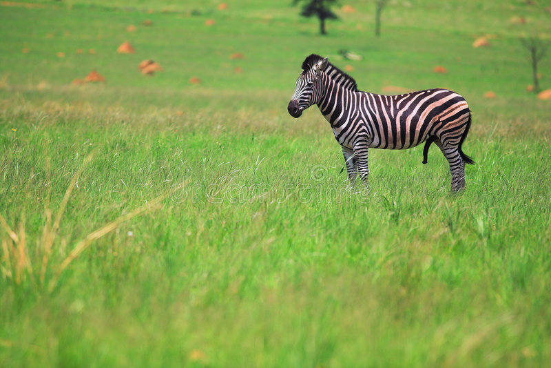 Zebra maschio in un campo verde fotografie stock