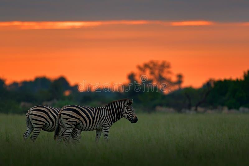 Zebra met blauwe onweershemel Burchell` s zebra, Equus-quaggaburchellii, Nxai Pan National Park, Botswana, Afrika Wild dier op Th royalty-vrije stock foto's