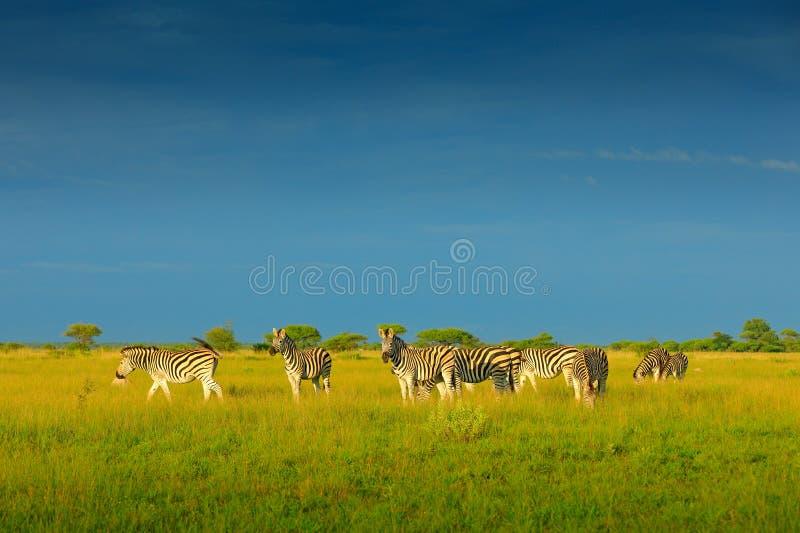Zebra met blauwe onweershemel Burchell` s zebra, Equus-quaggaburchellii, Nxai Pan National Park, Botswana, Afrika Wild dier op Th royalty-vrije stock fotografie