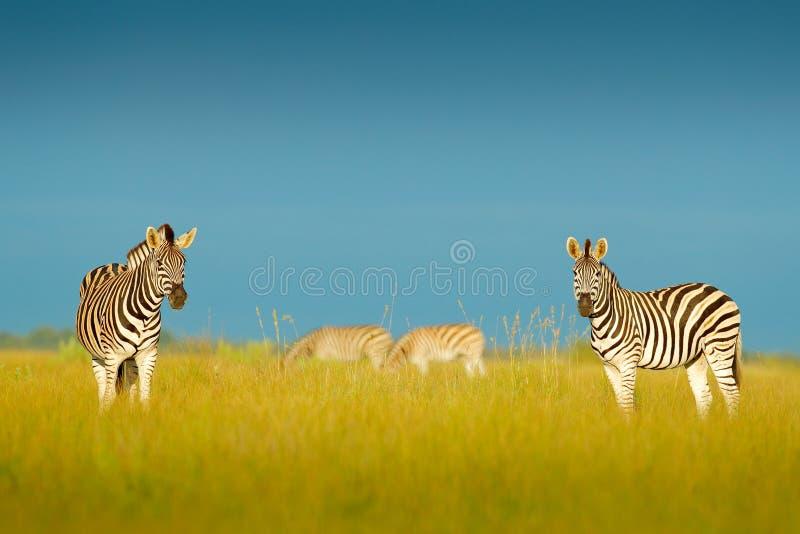 Zebra met blauwe onweershemel Burchell` s zebra, Equus-quaggaburchellii, Nxai Pan National Park, Botswana, Afrika Wild dier op Th stock fotografie