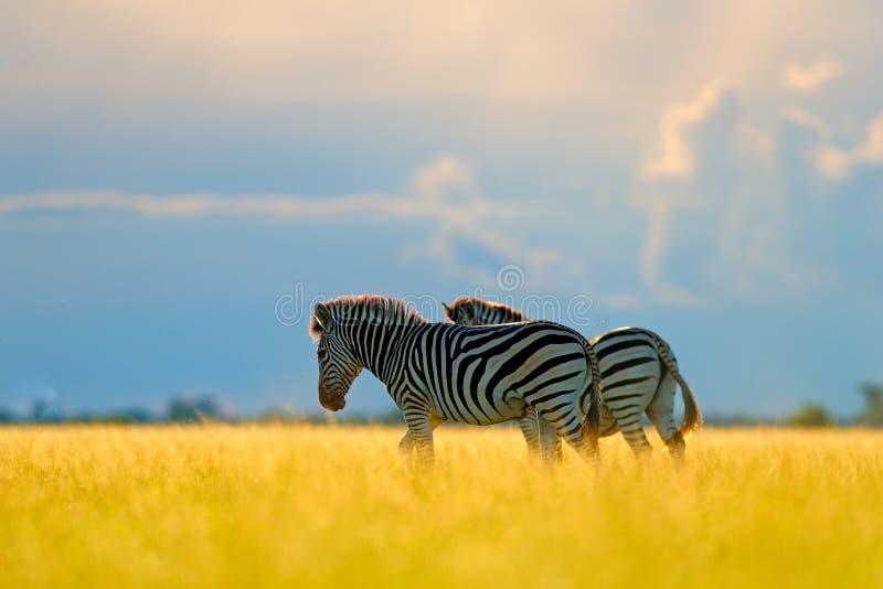 Zebra met blauwe onweershemel Burchell` s zebra, Equus-quaggaburchellii, Nxai Pan National Park, Botswana, Afrika Wild dier op Th royalty-vrije stock afbeeldingen