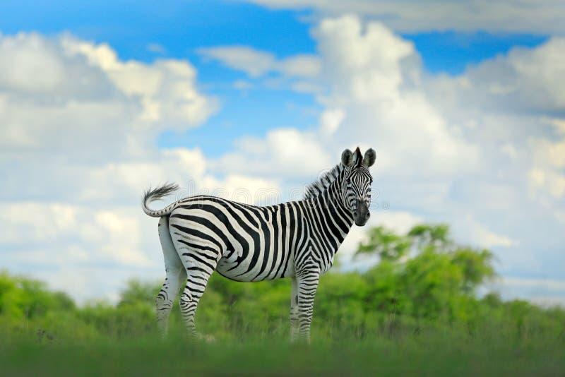 Zebra met blauwe onweershemel met wolken Burchell` s zebra, Equus-quaggaburchellii, Nxai Pan National Park, Botswana, Afrika wild royalty-vrije stock fotografie