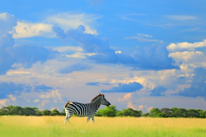 Zebra met blauwe onweershemel met wolken De zebra van Burchell, Equus-quaggaburchellii, Zambia, Afrika Wild dier op de groene wei stock foto's