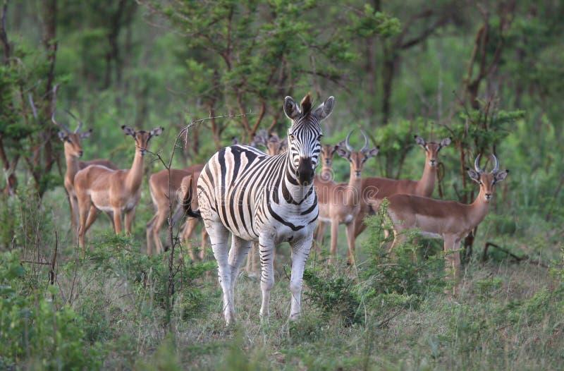 Zebra met weinig antilopen stock foto's
