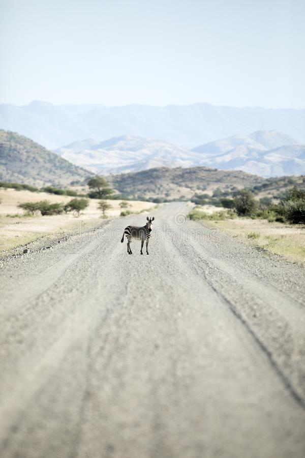 Zebra in middle of road. Namibia stock image