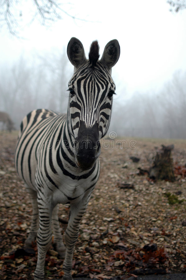 Download Zebra In The Mist stock photo. Image of equids, striped - 3983128