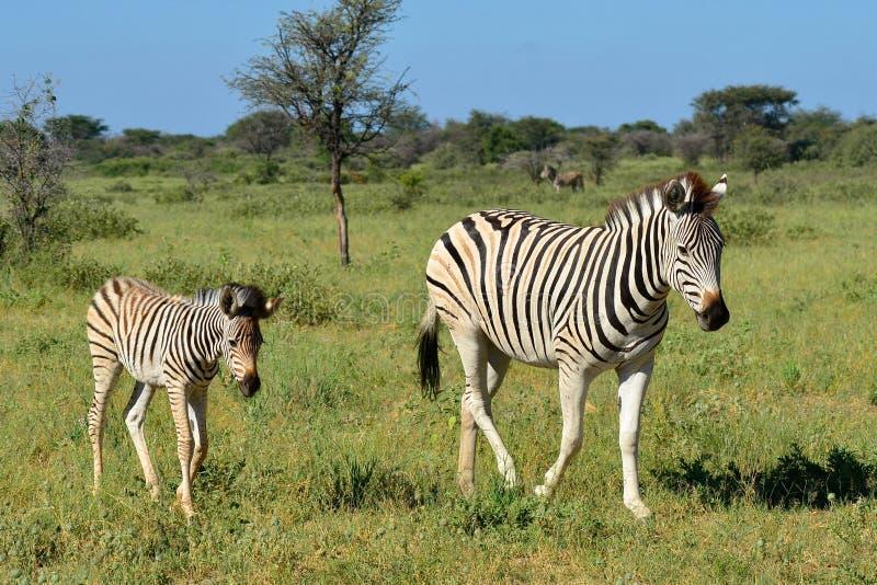 Zebra mit seinem Baby stockbild