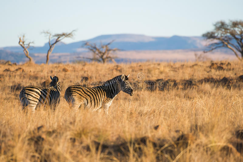 Zebra in morning light South Africa. Zebra in grass with morning light South Africa royalty free stock photos