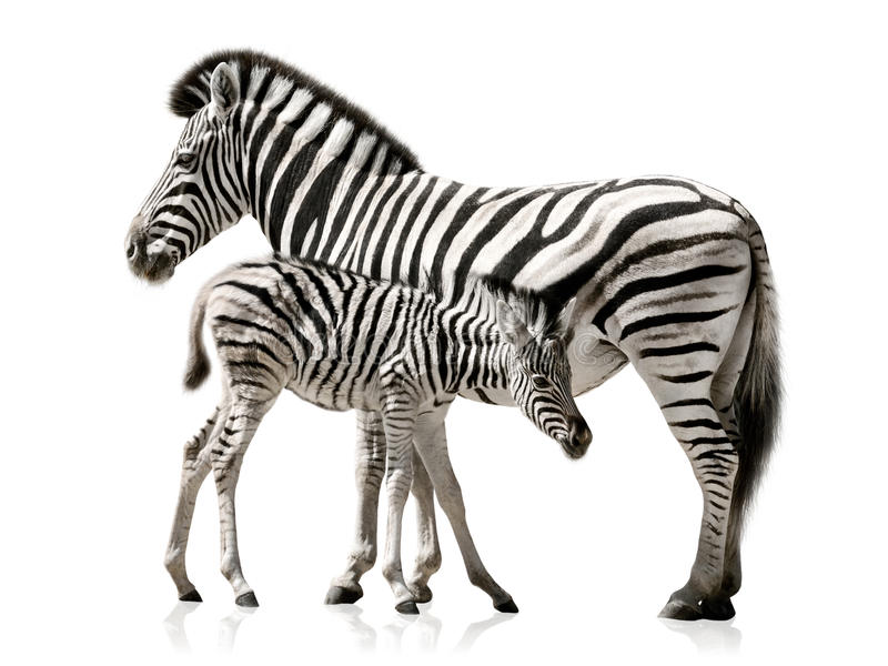 Download Zebra mother and baby stock image. Image of burchell - 39499325