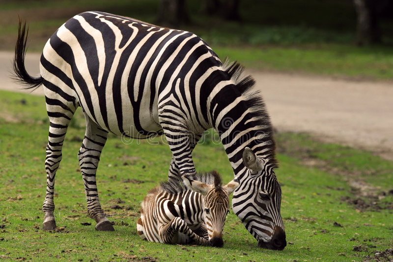 Zebra mother with foal. Zebra mother standing close to her just born foal laying in the grass stock images