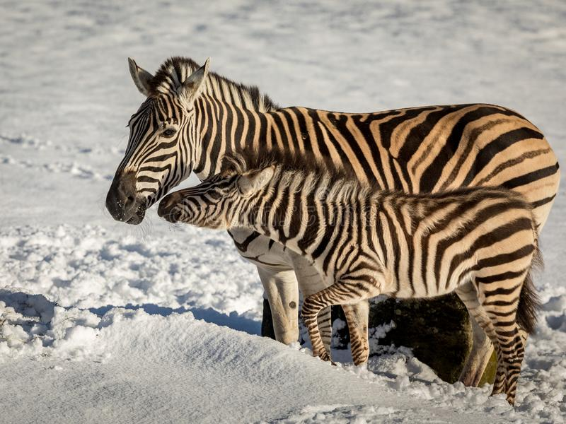 Zebra mother and foal connecting, standing outdoors in the snow in a zoo stock image