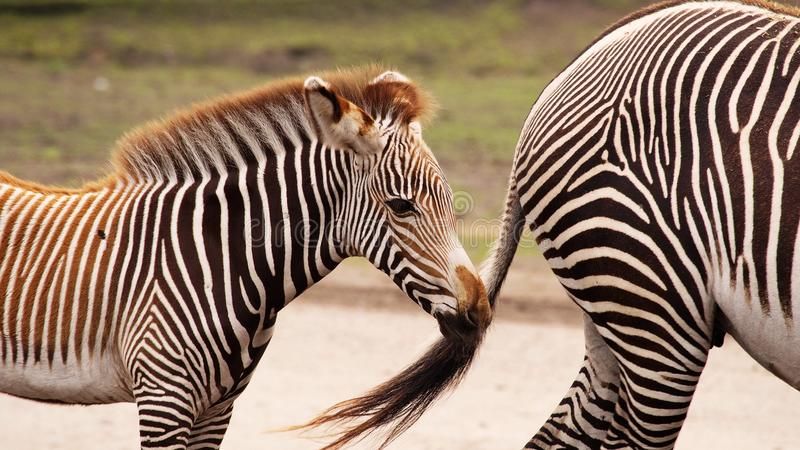 Zebra mother with foal. Gravyi zebra foal following its mother stock photo