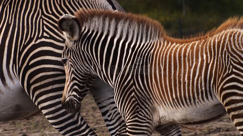 Zebra mother with foal. Gravyi zebra foal following its mother stock image