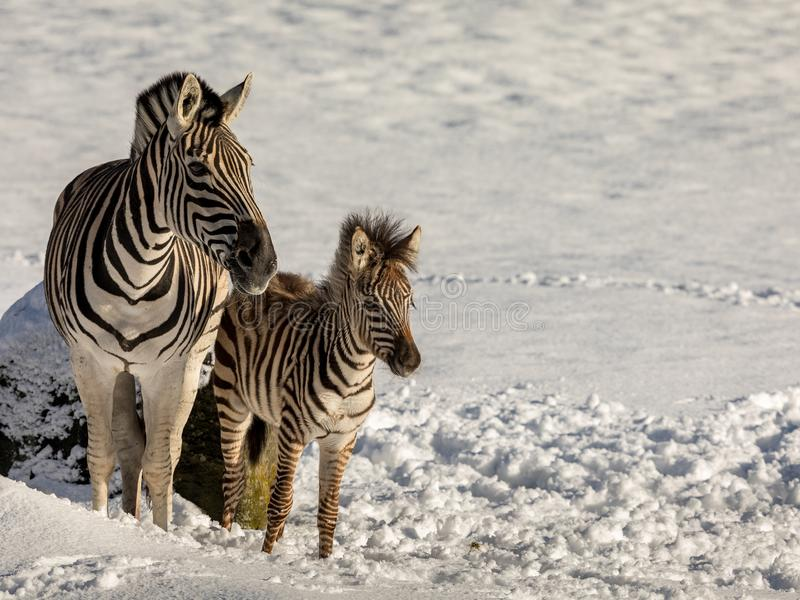 Zebra mother and foal outdoors in the snow in a zoo stock images