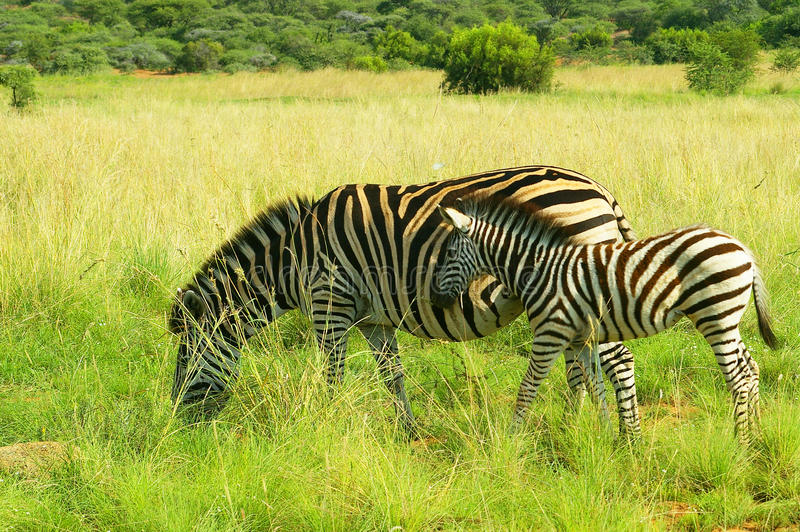 Zebra mother and foal in Pilanesberg National Park. Zebra mother and foal grazing on a savannah in Pilanesberg National Park in South Africa. The image was taken royalty free stock images