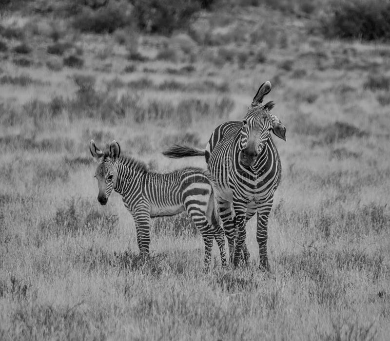 Zebra Mother And Foal. A Zebra mother and foal in Southern African savanna royalty free stock photography
