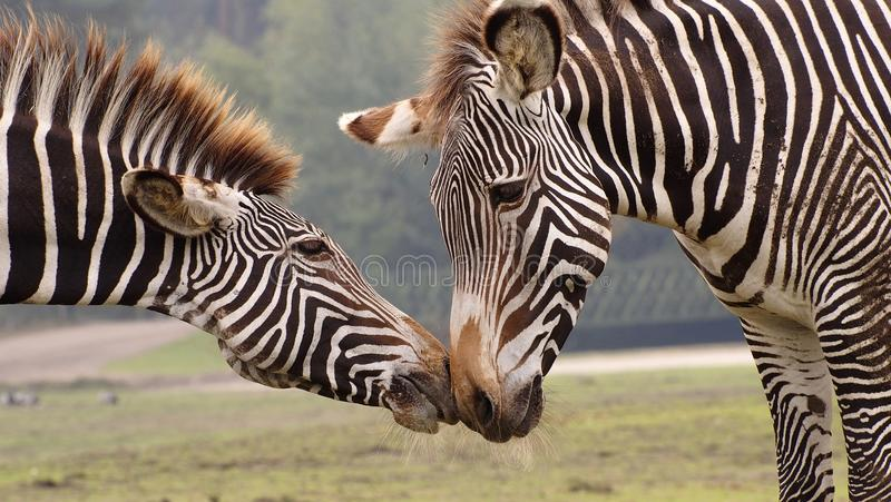 Zebra mother with foal. Kissing stock images