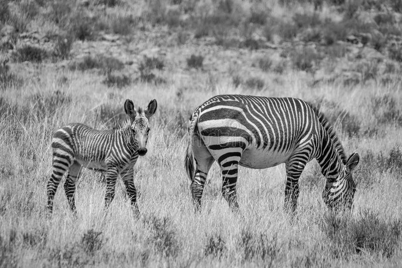 Zebra Mother And Foal. A Zebra mother and foal in Southern African savanna stock photo