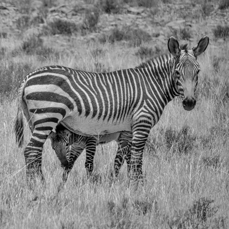 Zebra Mother And Foal. A Zebra mother and foal in Southern African savanna stock photos