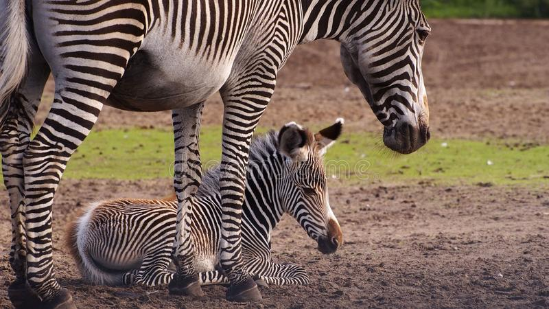 Zebra mother with foal. Zebra mother standing over her foal royalty free stock images