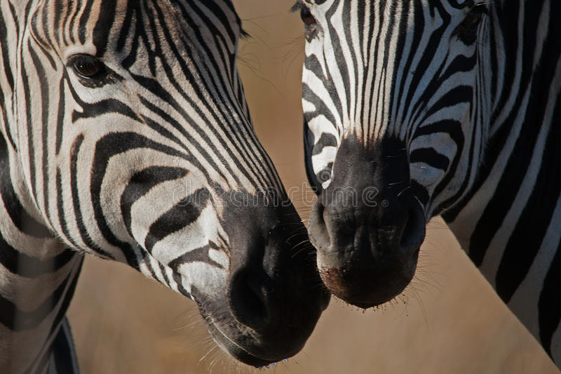 ZEBRA MUZZLES CLOSE TOGETHER royalty free stock photos