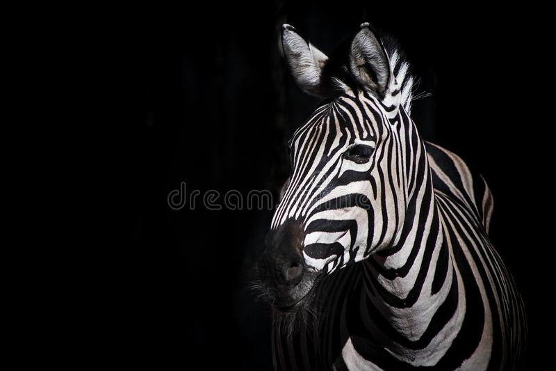 Zebra na czarnym tle zdjęcia stock