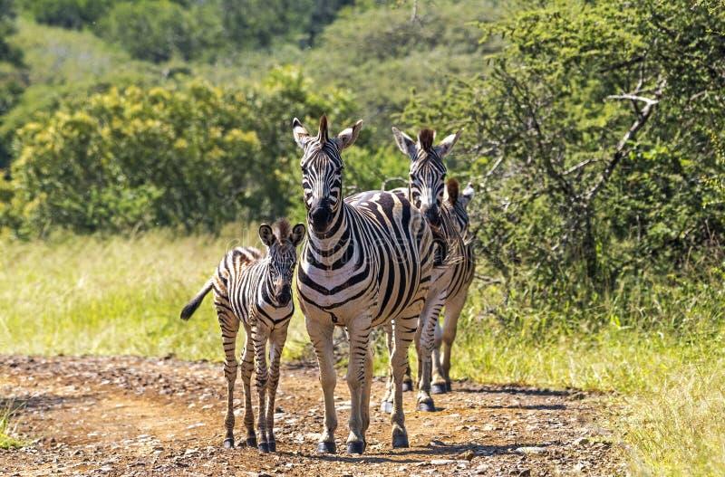 Zebra na drodze gruntowej w Naturalnym Bushland krajobrazie obrazy royalty free