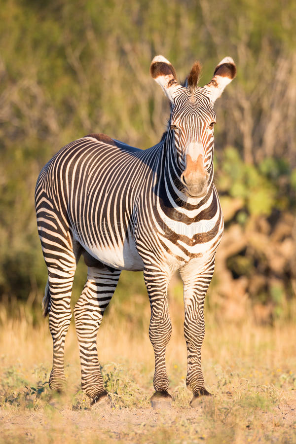 Zebra na fotografia vertical imagens de stock royalty free