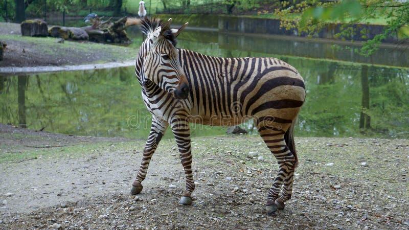 Zebra na frente do furo de água que olha para trás imagem de stock
