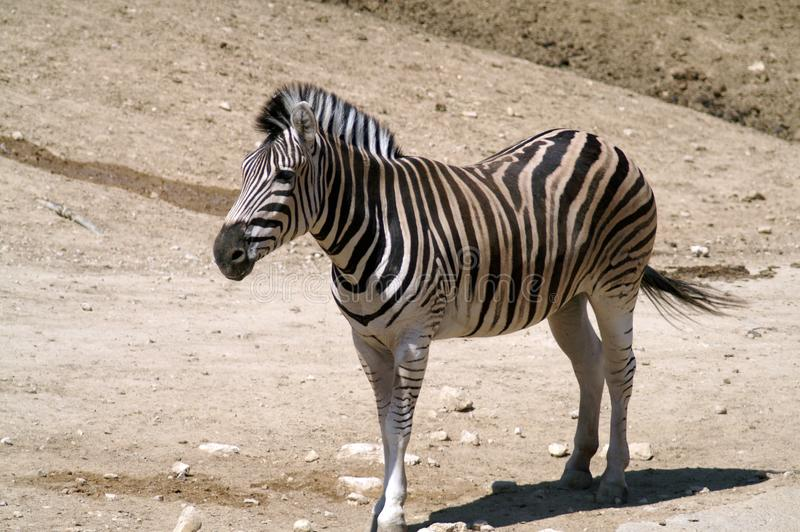 Zebra na lekkim piaska tle obraz stock