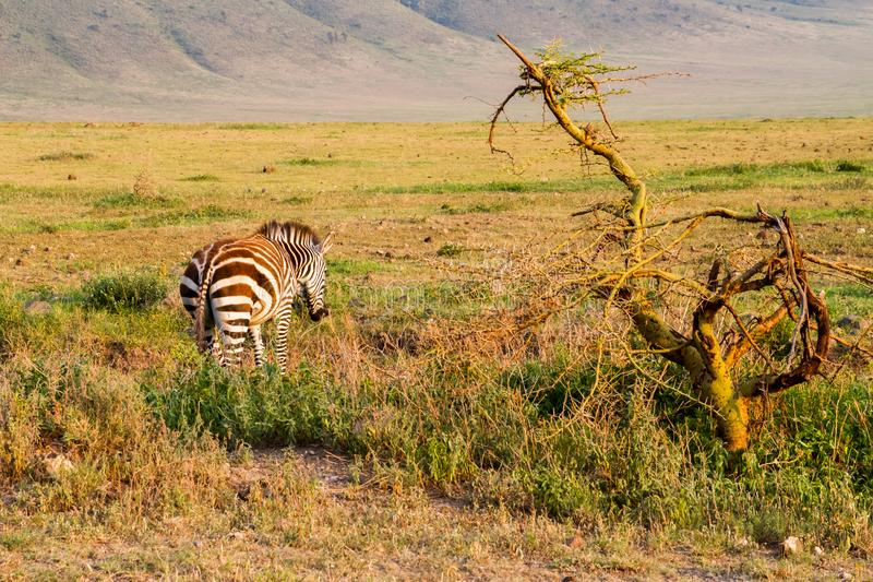 Zebra na manhã na área da conservação de Ngorongoro fotos de stock