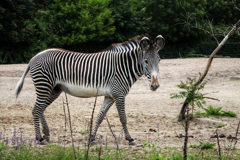 Zebra na natureza foto de stock