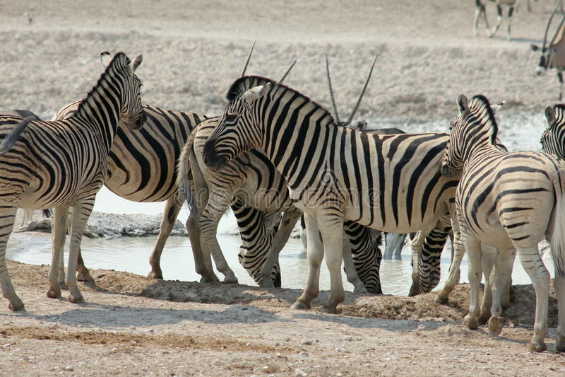 Zebra in Namibia. The Plains Zebra (equus quagga), also called Savannah Zebra or Damara Zebra. Taken at a waterhole in Etosha National Park Namibia stock photos